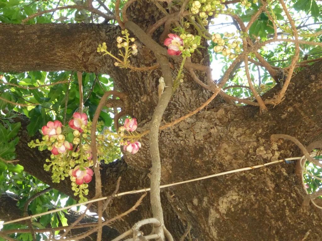 Священное дерево курупита