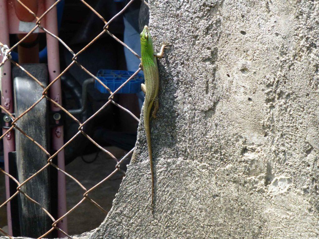 Ящерка на стене