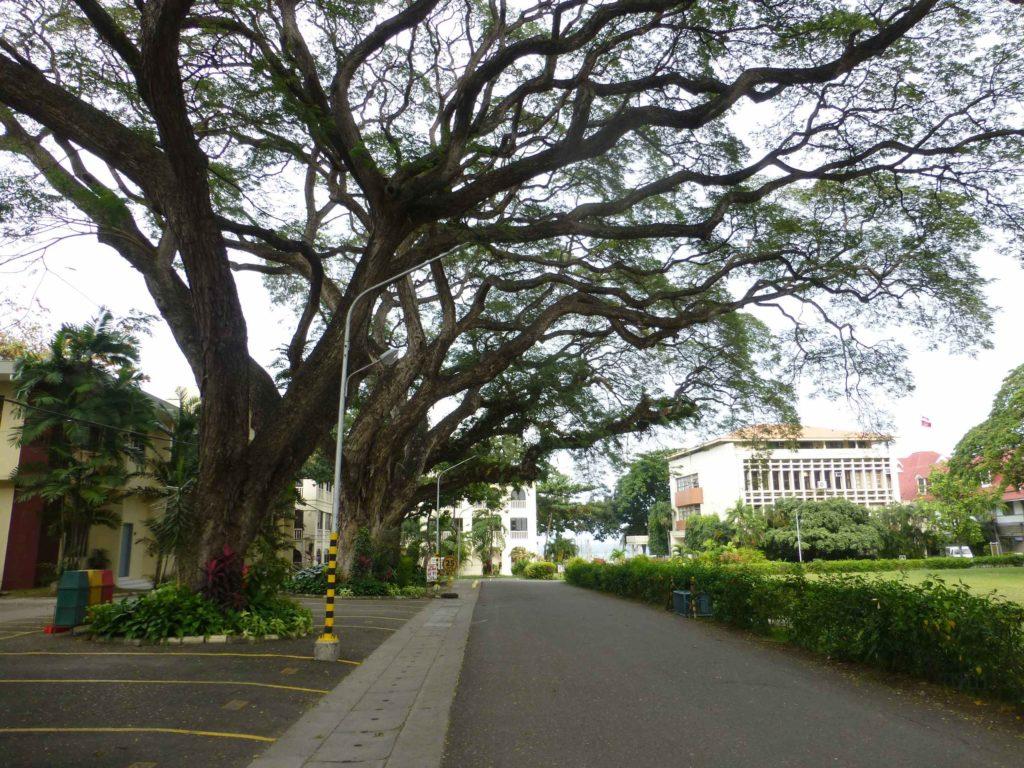 Старые деревья кампуса