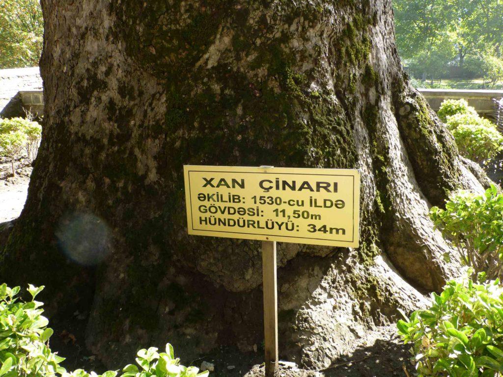 Платан (чинар), которому 500 лет.